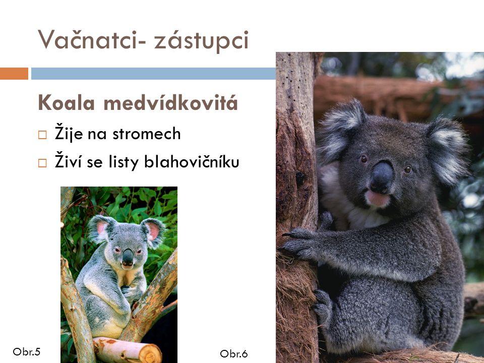 Vačnatci- zástupci Koala medvídkovitá  Žije na stromech  Živí se listy blahovičníku Obr.5 Obr.6