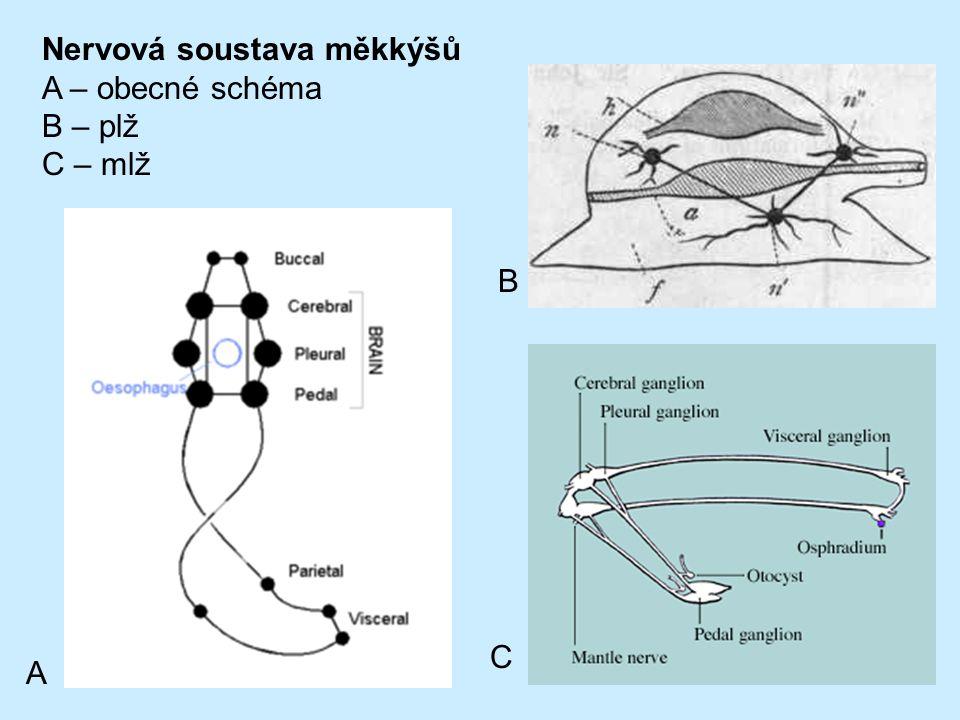 Nervová soustava měkkýšů A – obecné schéma B – plž C – mlž A B C