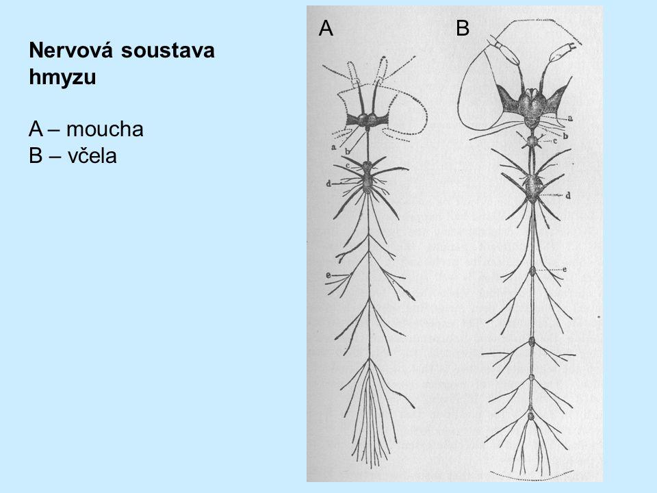 Nervová soustava hmyzu A – moucha B – včela AB