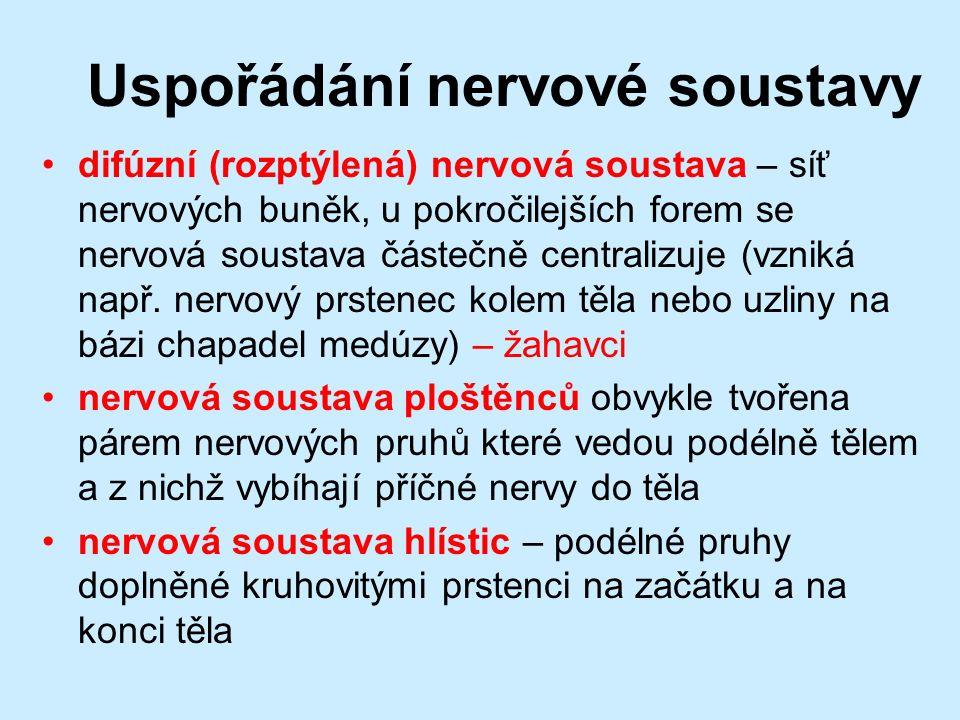 Uspořádání nervové soustavy difúzní (rozptýlená) nervová soustava – síť nervových buněk, u pokročilejších forem se nervová soustava částečně centralizuje (vzniká např.