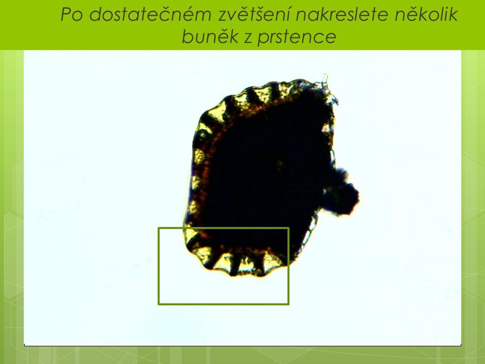  Po dostatečném zvětšení nakreslete několik buněk z prstence
