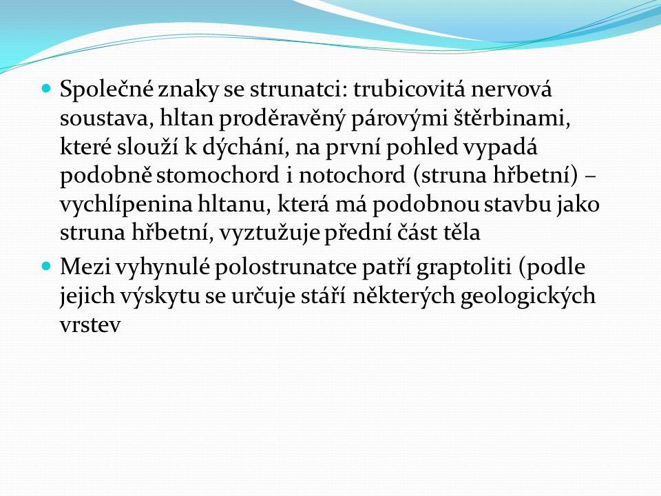 Společné znaky se strunatci: trubicovitá nervová soustava, hltan proděravěný párovými štěrbinami, které slouží k dýchání, na první pohled vypadá podob