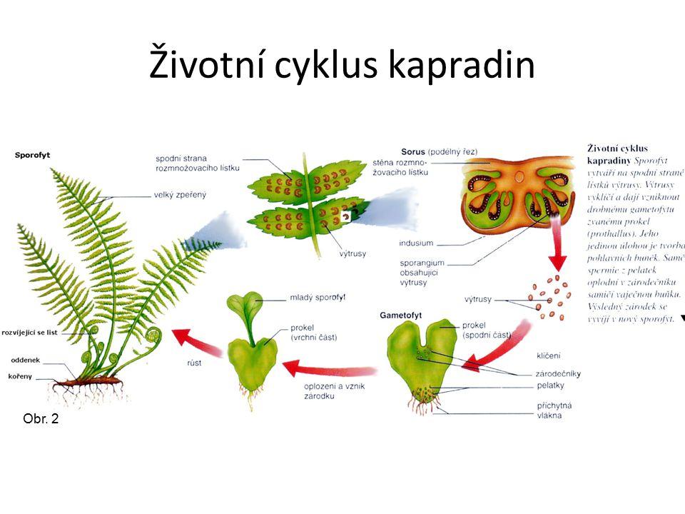 Životní cyklus kapradin Obr. 2