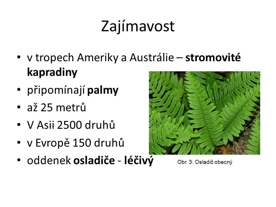 Zástupci kapraď samec – v lese papratka samičí – v lese sleziník – štěrbiny skal, zdí osladič obecný – nejběžnější, na skalách parožnatka – tropická; pokojová rostlina Obr.