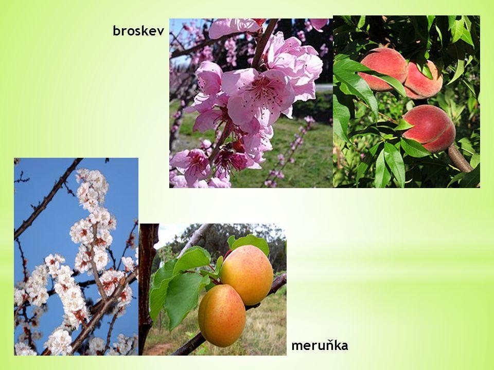 meruňka broskev