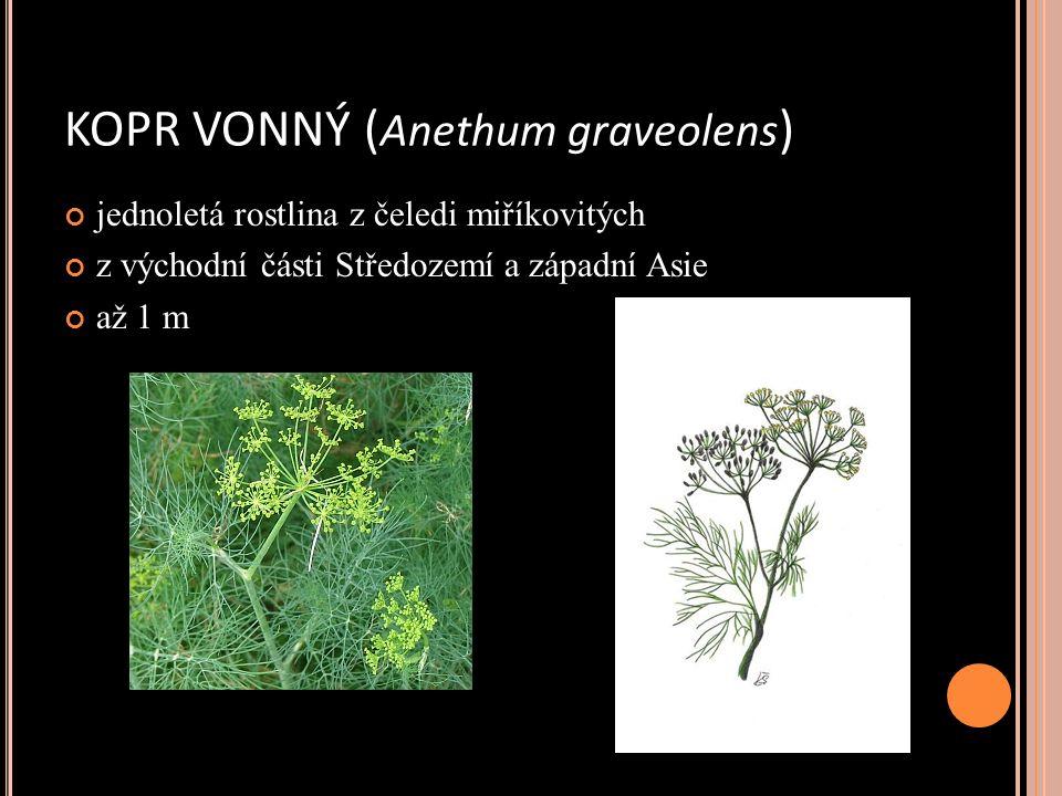 KOPR VONNÝ ( Anethum graveolens ) jednoletá rostlina z čeledi miříkovitých z východní části Středozemí a západní Asie až 1 m
