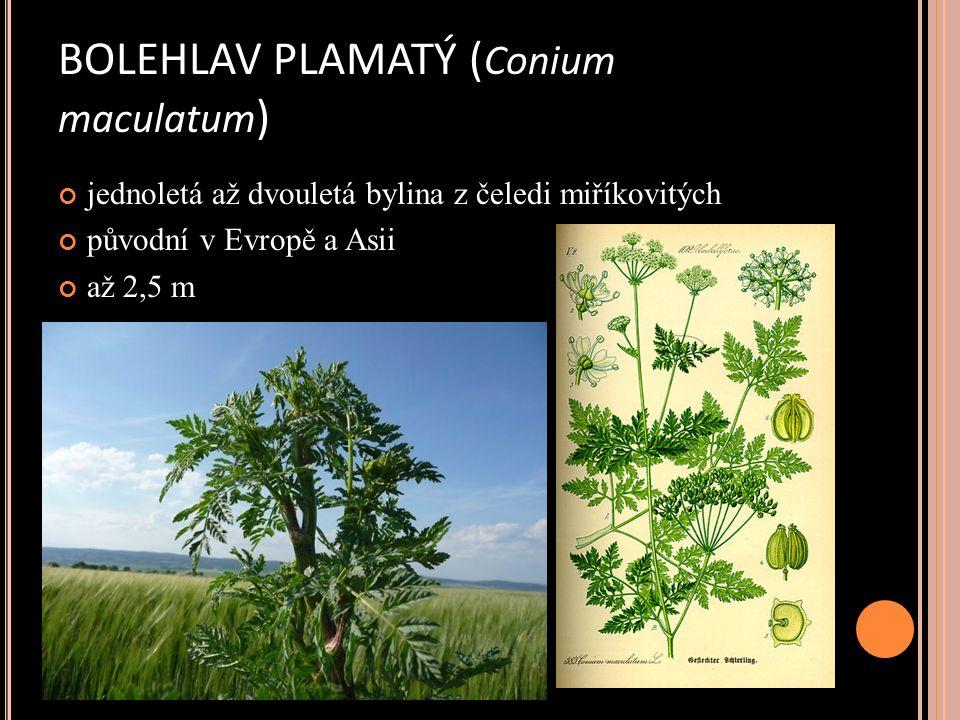 BOLEHLAV PLAMATÝ ( Conium maculatum ) jednoletá až dvouletá bylina z čeledi miříkovitých původní v Evropě a Asii až 2,5 m