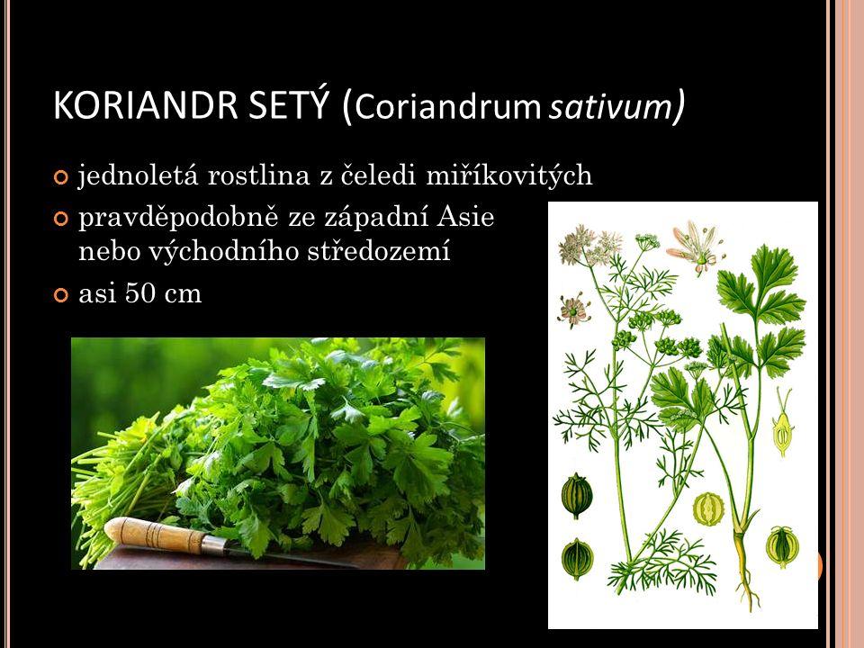 KORIANDR SETÝ ( Coriandrum sativum ) jednoletá rostlina z čeledi miříkovitých pravděpodobně ze západní Asie nebo východního středozemí asi 50 cm