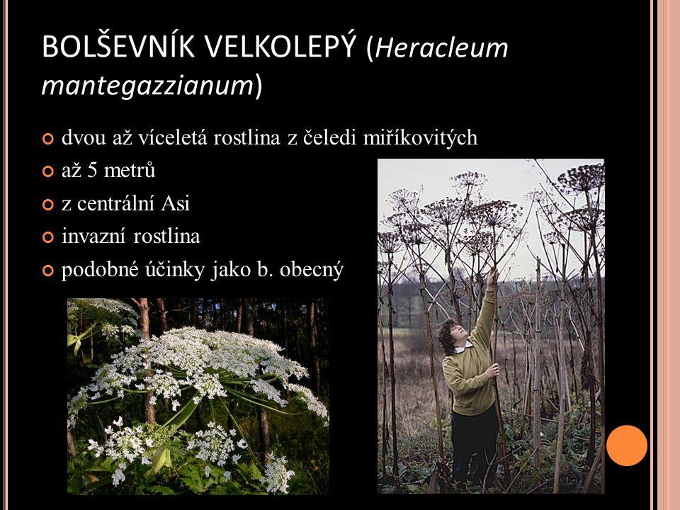 BOLŠEVNÍK VELKOLEPÝ (Heracleum mantegazzianum) dvou až víceletá rostlina z čeledi miříkovitých až 5 metrů z centrální Asi invazní rostlina podobné účinky jako b.