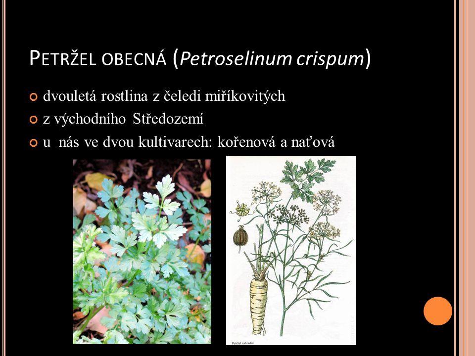 P ETRŽEL OBECNÁ ( Petroselinum crispum ) dvouletá rostlina z čeledi miříkovitých z východního Středozemí u nás ve dvou kultivarech: kořenová a naťová