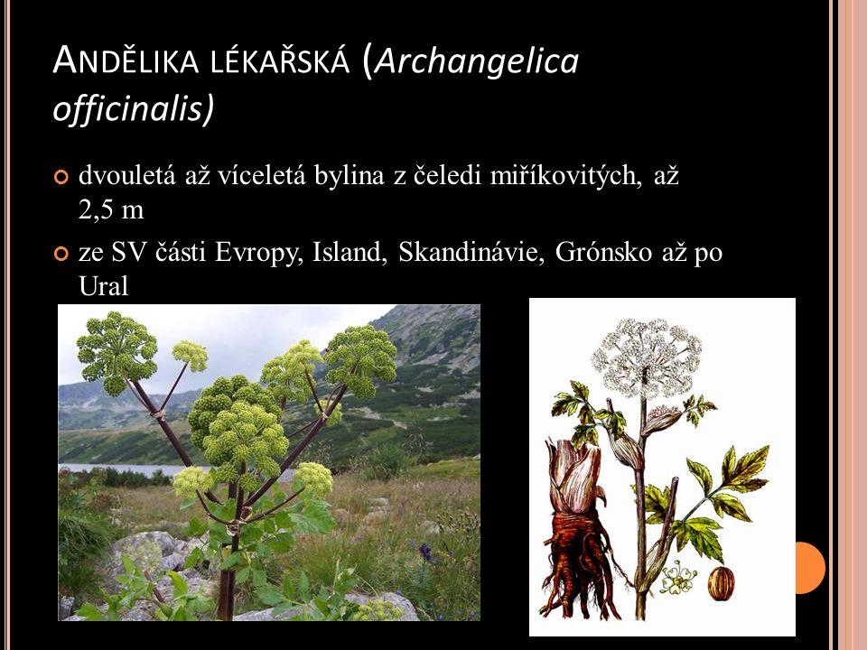 A NDĚLIKA LÉKAŘSKÁ ( Archangelica officinalis) dvouletá až víceletá bylina z čeledi miříkovitých, až 2,5 m ze SV části Evropy, Island, Skandinávie, Grónsko až po Ural