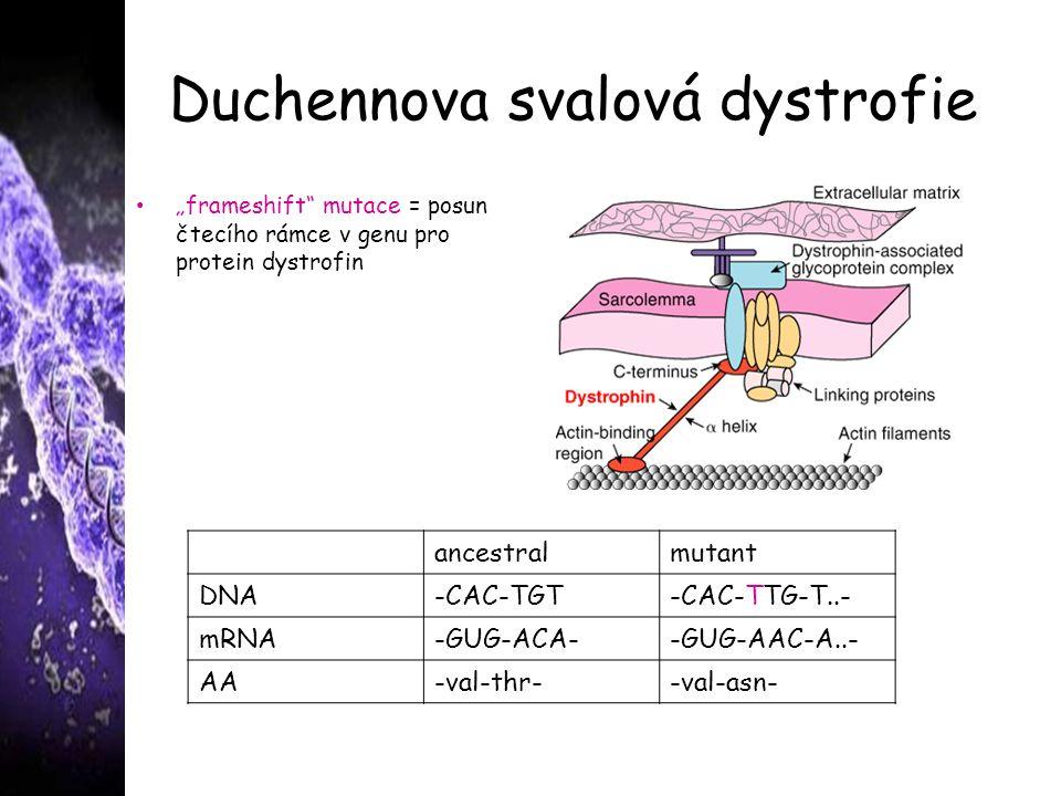 "Duchennova svalová dystrofie ""frameshift mutace = posun čtecího rámce v genu pro protein dystrofin ancestralmutant DNA-CAC-TGT-CAC-TTG-T..- mRNA-GUG-ACA--GUG-AAC-A..- AA-val-thr--val-asn-"