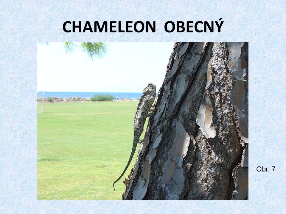 CHAMELEON OBECNÝ Obr. 7