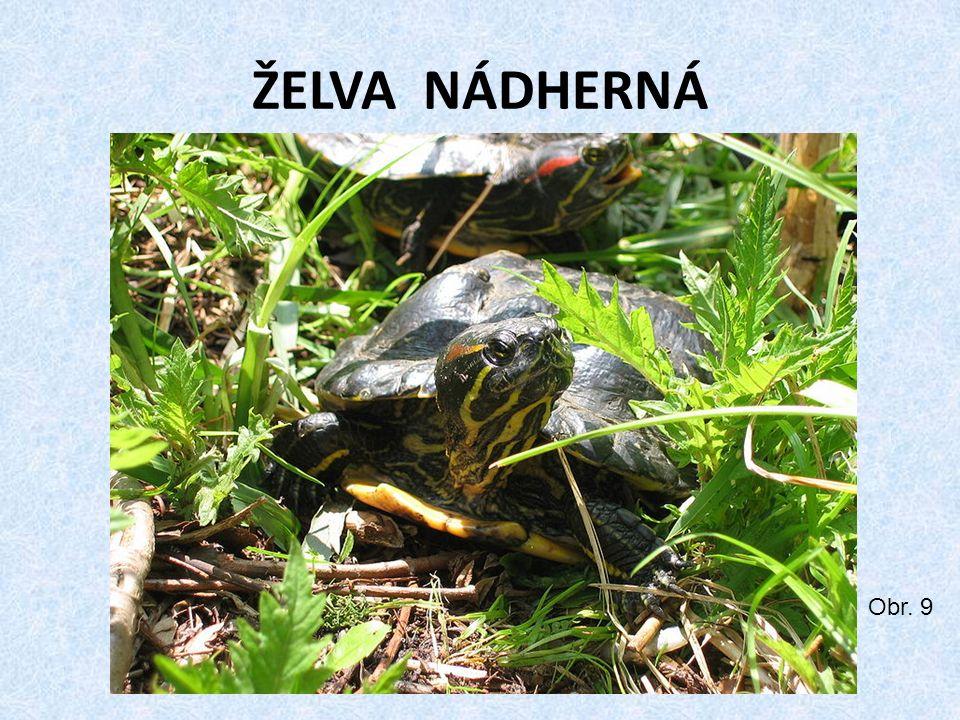 ŽELVA NÁDHERNÁ Obr. 9