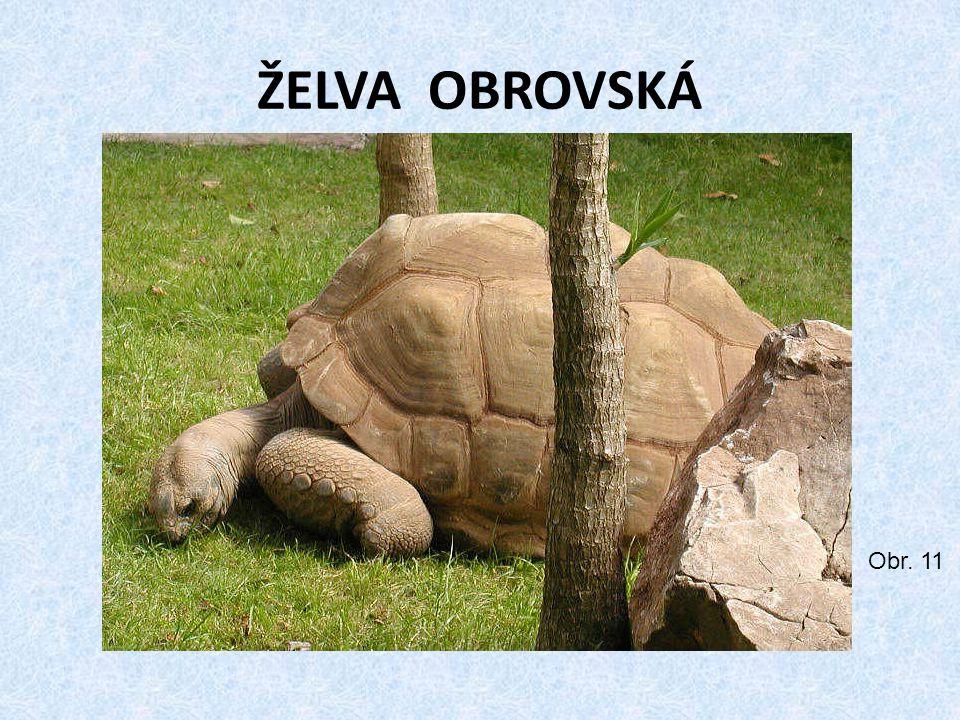 ŽELVA OBROVSKÁ Obr. 11