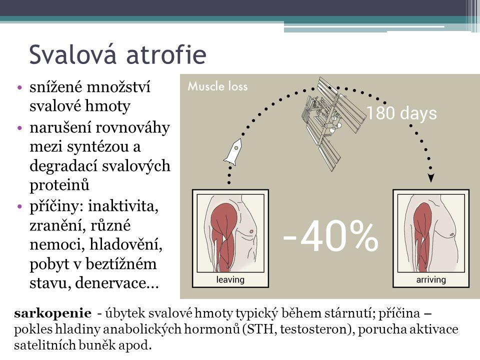 Svalová atrofie snížené množství svalové hmoty narušení rovnováhy mezi syntézou a degradací svalových proteinů příčiny: inaktivita, zranění, různé nemoci, hladovění, pobyt v beztížném stavu, denervace...