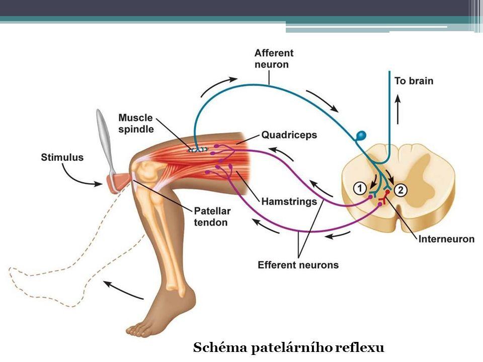 Schéma patelárního reflexu
