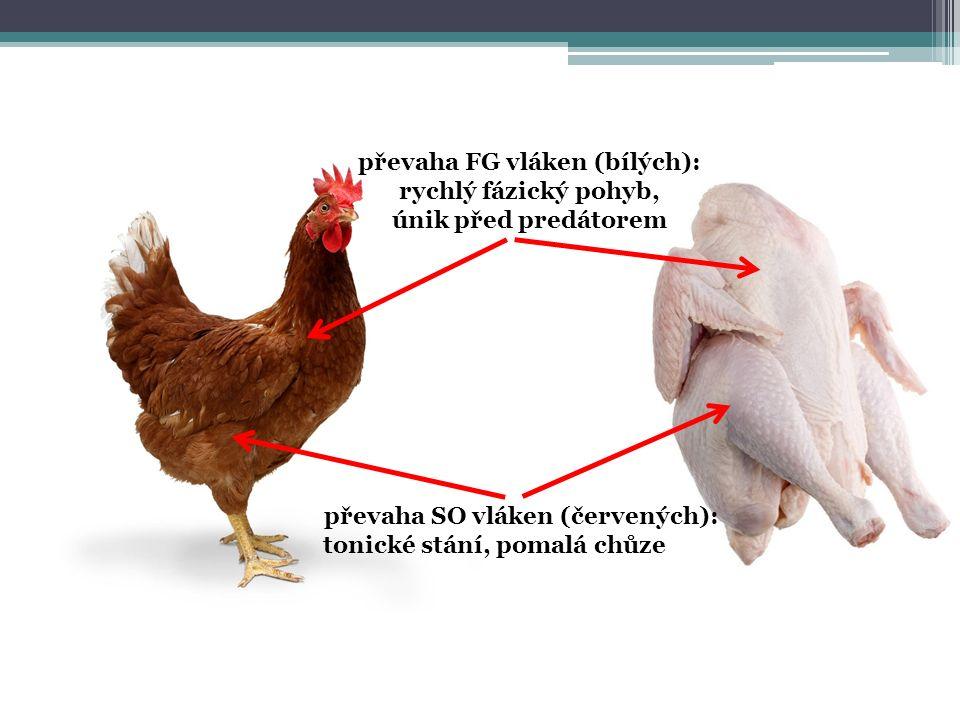 převaha SO vláken (červených): tonické stání, pomalá chůze převaha FG vláken (bílých): rychlý fázický pohyb, únik před predátorem