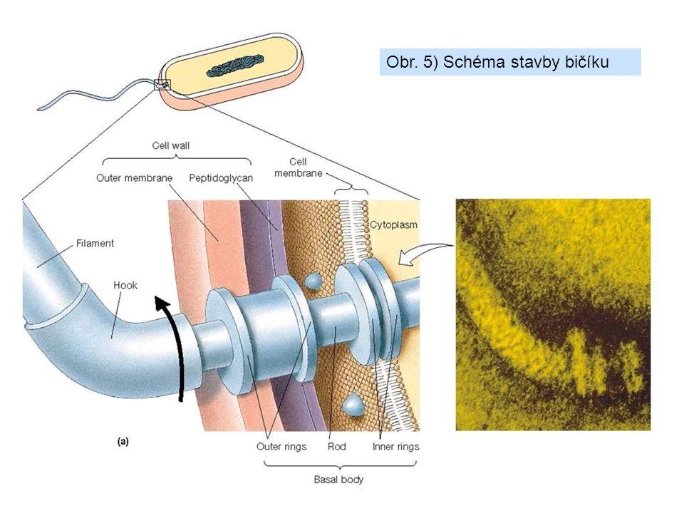 Obr. 5) Schéma stavby bičíku
