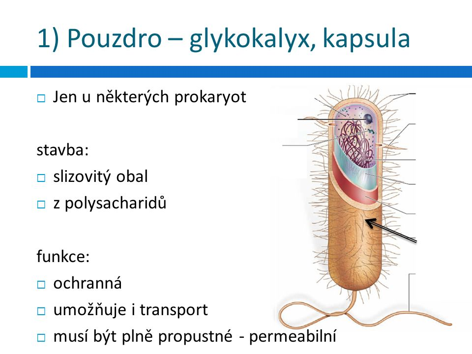 1) Pouzdro – glykokalyx, kapsula  Jen u některých prokaryot stavba:  slizovitý obal  z polysacharidů funkce:  ochranná  umožňuje i transport  mu