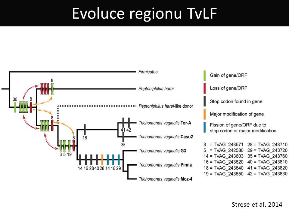 Evoluce regionu TvLF Strese et al. 2014