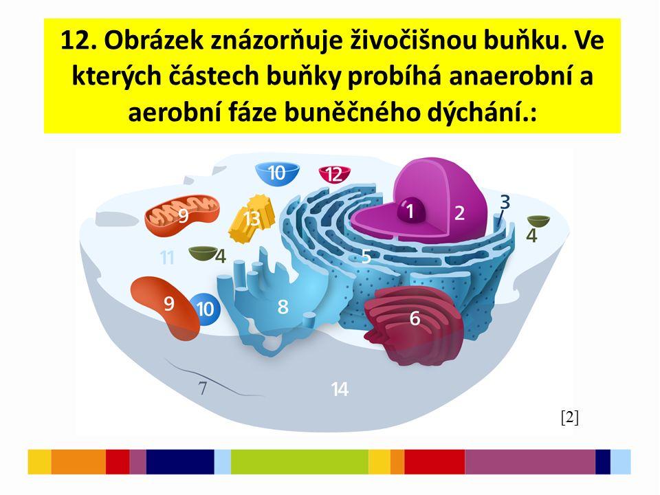 12. Obrázek znázorňuje živočišnou buňku. Ve kterých částech buňky probíhá anaerobní a aerobní fáze buněčného dýchání.: [2]