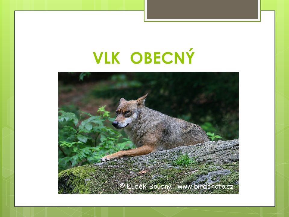 Charakteristické rysy vlka obecného:  nižší šikmé čelo  šikmo položené oči  u nás trvale nežije, v zimě se může zatoulat z Karpat  v létě žije ve velkých rodinách  v zimě se tyto vlčí rodiny sdružují ve smečky a loví společně