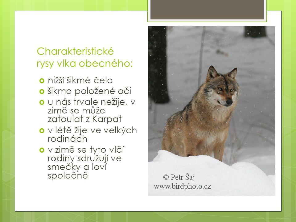 Opakování:  Vyjmenuj znaky psovitých šelem. Jaké jsou charakteristické znaky vlka.
