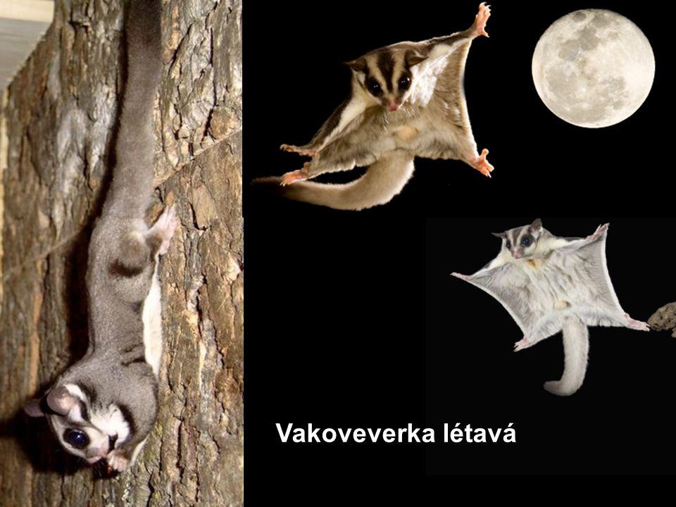Vakoveverka létavá