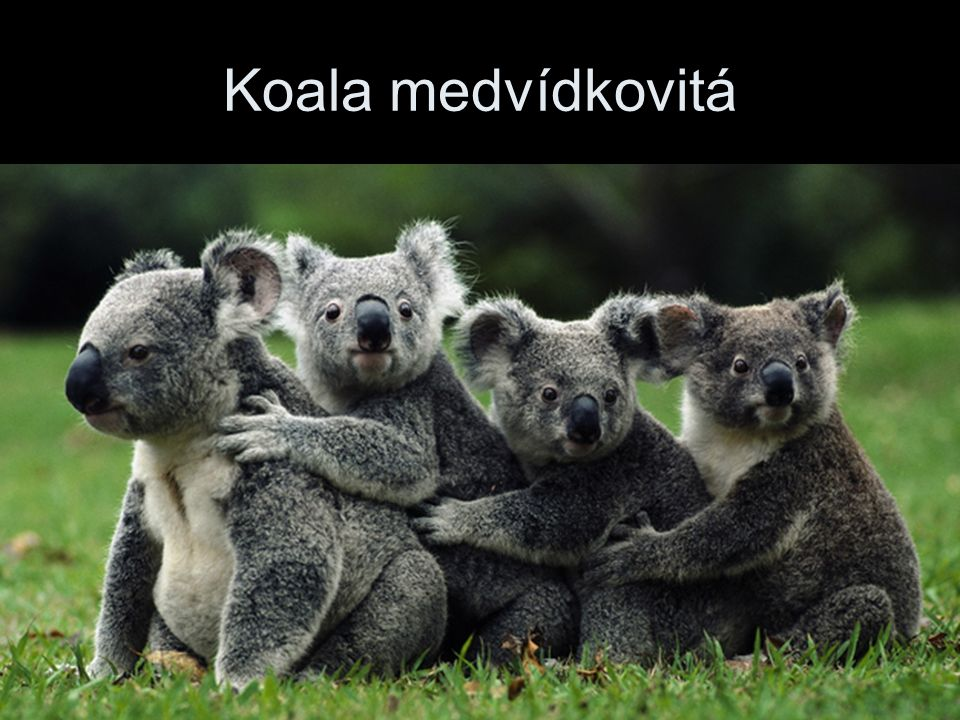 Koala medvídkovitá