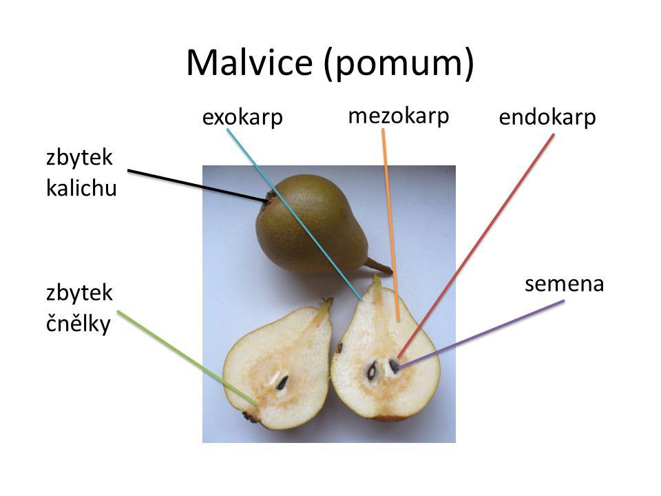 Malvice (pomum) exokarp mezokarp endokarp semena zbytek kalichu zbytek čnělky