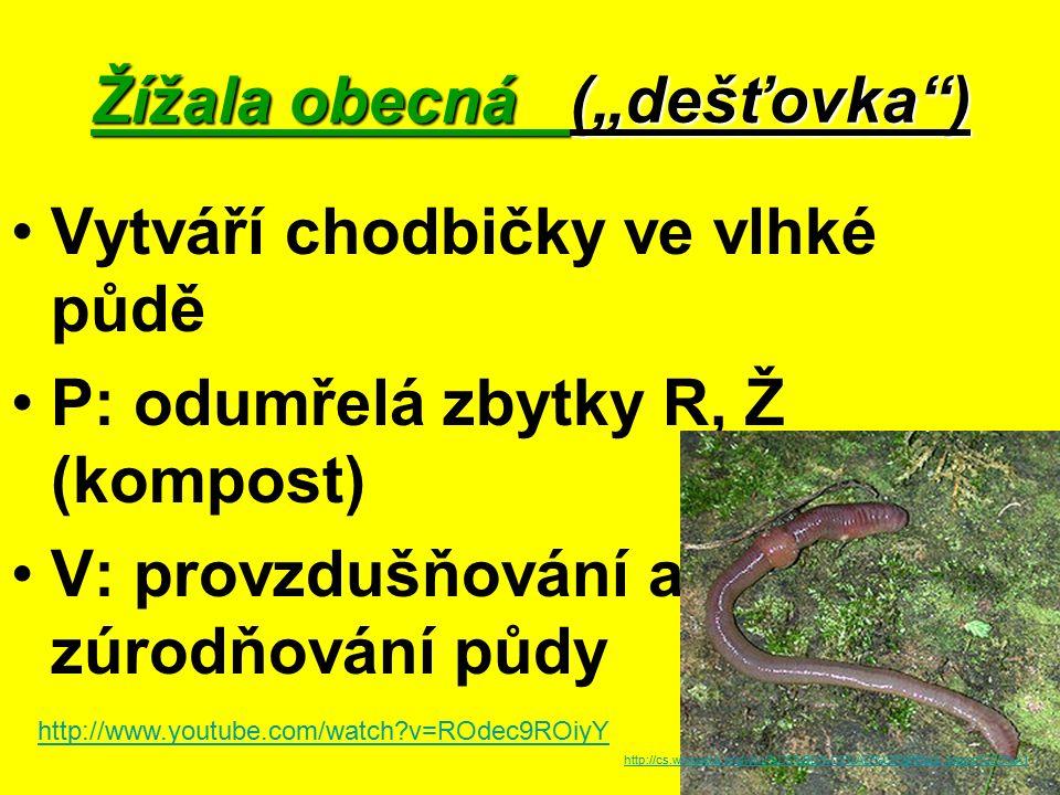 """Žížala obecná (""""dešťovka ) Vytváří chodbičky ve vlhké půdě P: odumřelá zbytky R, Ž (kompost) V: provzdušňování a zúrodňování půdy http://cs.wikipedia.org/wiki/%C5%BD%C3%AD%C5%BEala_obecn%C3%A1 http://www.youtube.com/watch?v=ROdec9ROiyY"""