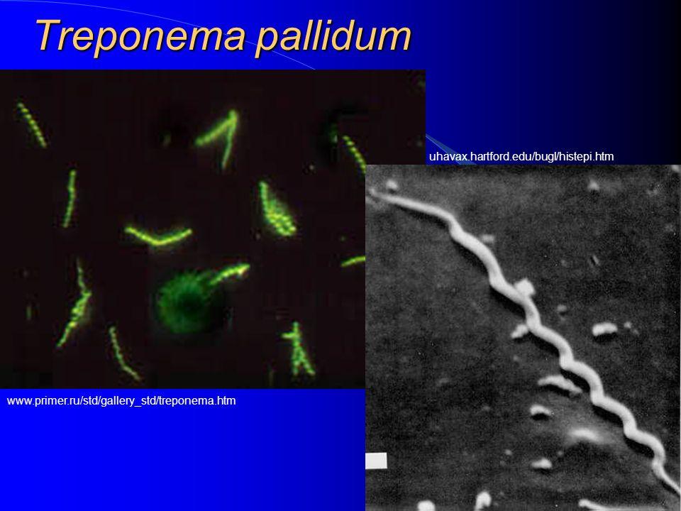 Treponema pallidum www.primer.ru/std/gallery_std/treponema.htm uhavax.hartford.edu/bugl/histepi.htm