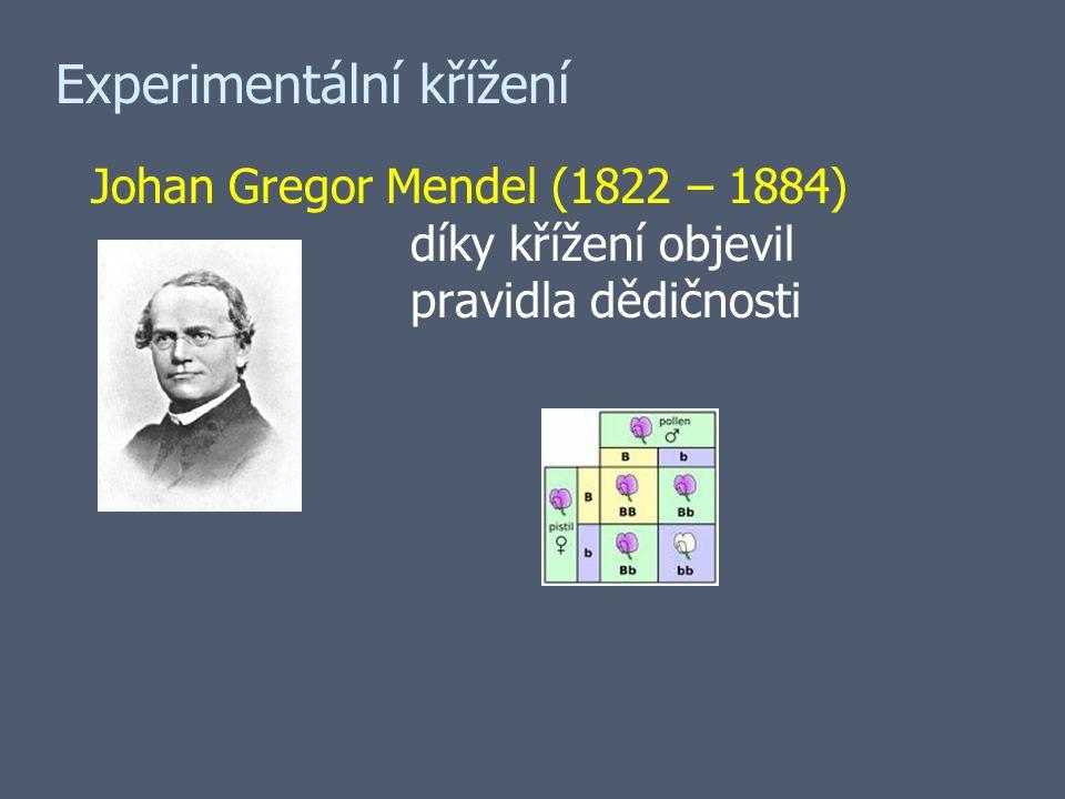 Experimentální křížení Johan Gregor Mendel (1822 – 1884) díky křížení objevil pravidla dědičnosti
