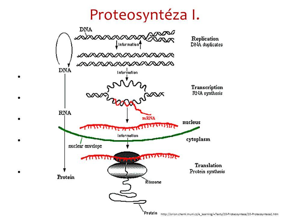 Transkripce DNA Transkripce běží procesem podobným jako u replikace, jen se na kopírování podílí místo DNA polymerázy RNA polymeráza, která umožní navázání uracilu na adenin.