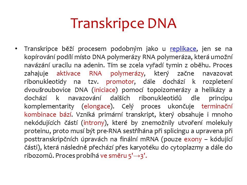 Transkripce DNA Transkripce běží procesem podobným jako u replikace, jen se na kopírování podílí místo DNA polymerázy RNA polymeráza, která umožní nav
