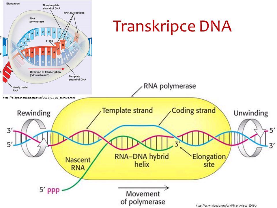 Translace Translací rozumíme proces probíhající u eukaryot v ribozómech.