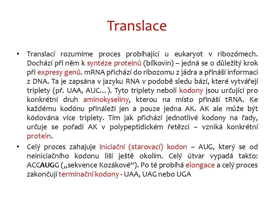 Translace Translací rozumíme proces probíhající u eukaryot v ribozómech. Dochází při něm k syntéze proteinů (bílkovin) – jedná se o důležitý krok při