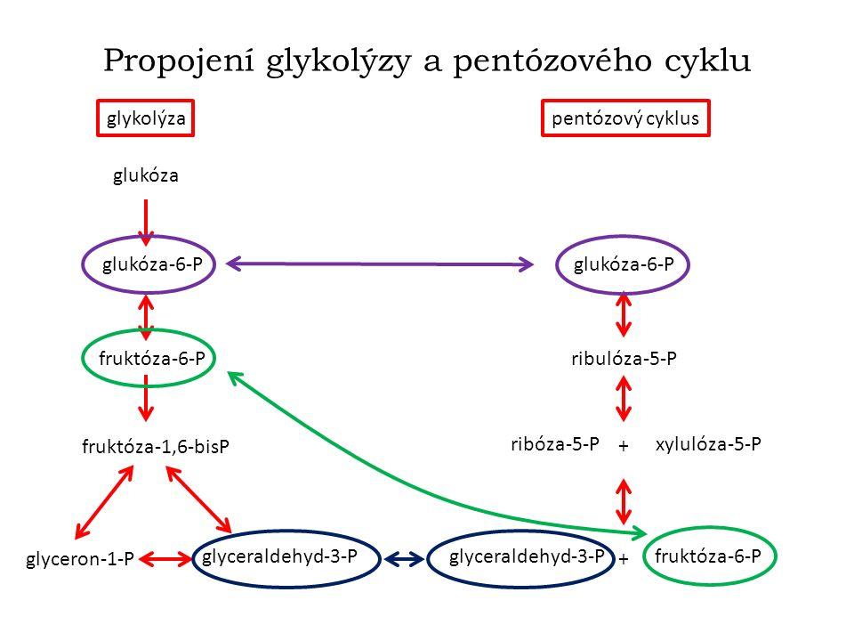 Propojení glykolýzy a pentózového cyklu glykolýzapentózový cyklus glukóza glukóza-6-P fruktóza-6-P fruktóza-1,6-bisP glyceraldehyd-3-P glyceron-1-P glukóza-6-P ribulóza-5-P ribóza-5-Pxylulóza-5-P glyceraldehyd-3-Pfruktóza-6-P + +