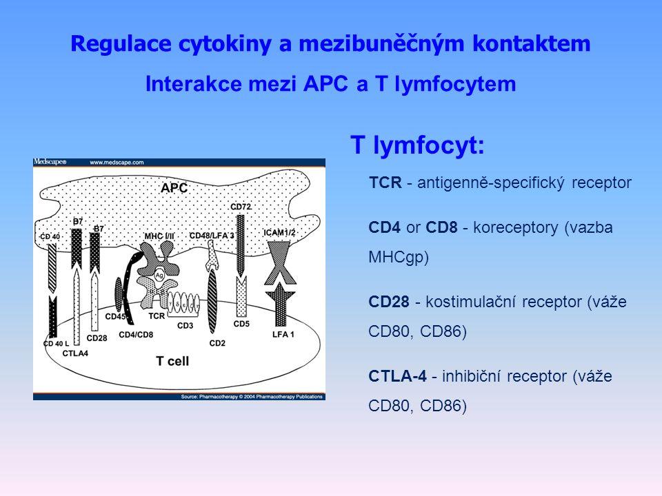 Regulace cytokiny a mezibuněčným kontaktem Interakce mezi APC a T lymfocytem T lymfocyt: TCR - antigenně-specifický receptor CD4 or CD8 - koreceptory (vazba MHCgp) CD28 - kostimulační receptor (váže CD80, CD86) CTLA-4 - inhibiční receptor (váže CD80, CD86)