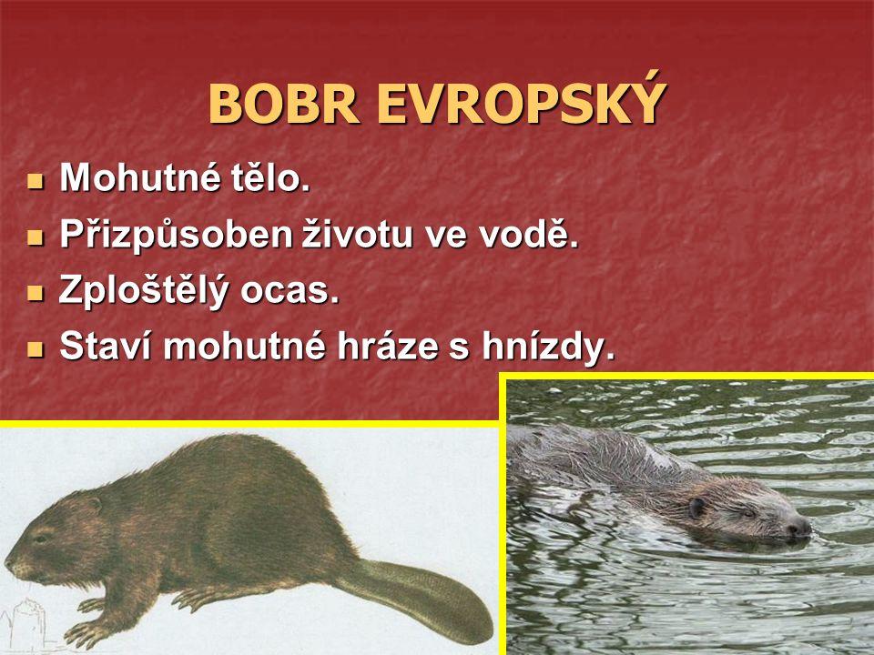 BOBR EVROPSKÝ Mohutné tělo. Mohutné tělo. Přizpůsoben životu ve vodě.