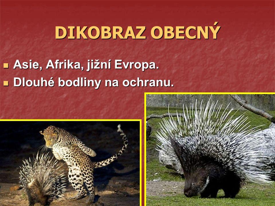 DIKOBRAZ OBECNÝ Asie, Afrika, jižní Evropa. Asie, Afrika, jižní Evropa. Dlouhé bodliny na ochranu. Dlouhé bodliny na ochranu.
