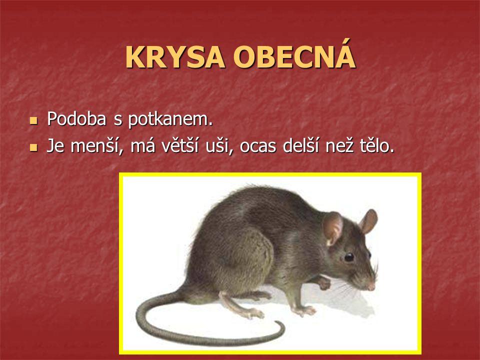 KRYSA OBECNÁ Podoba s potkanem. Podoba s potkanem. Je menší, má větší uši, ocas delší než tělo. Je menší, má větší uši, ocas delší než tělo.