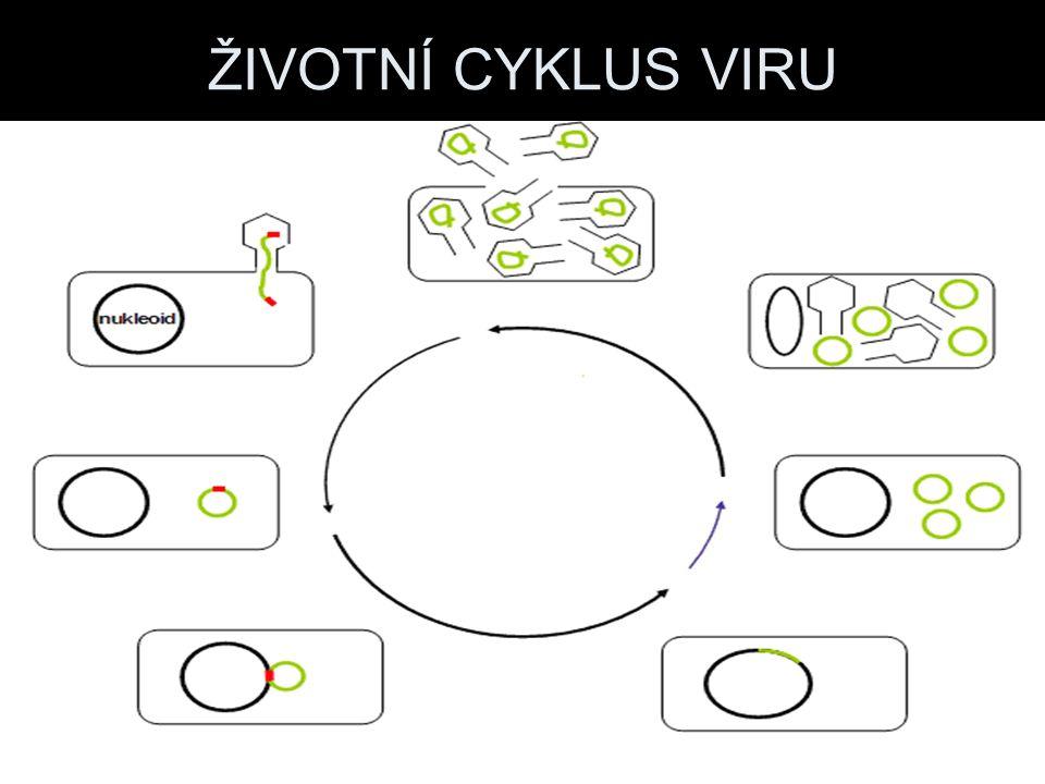 Tvary virů Hlavička s bičíky Kulovité viry Šroubovicovité viry