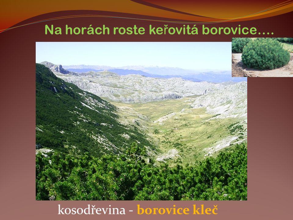 Na horách roste ke ř ovitá borovice…. kosodřevina - borovice kleč