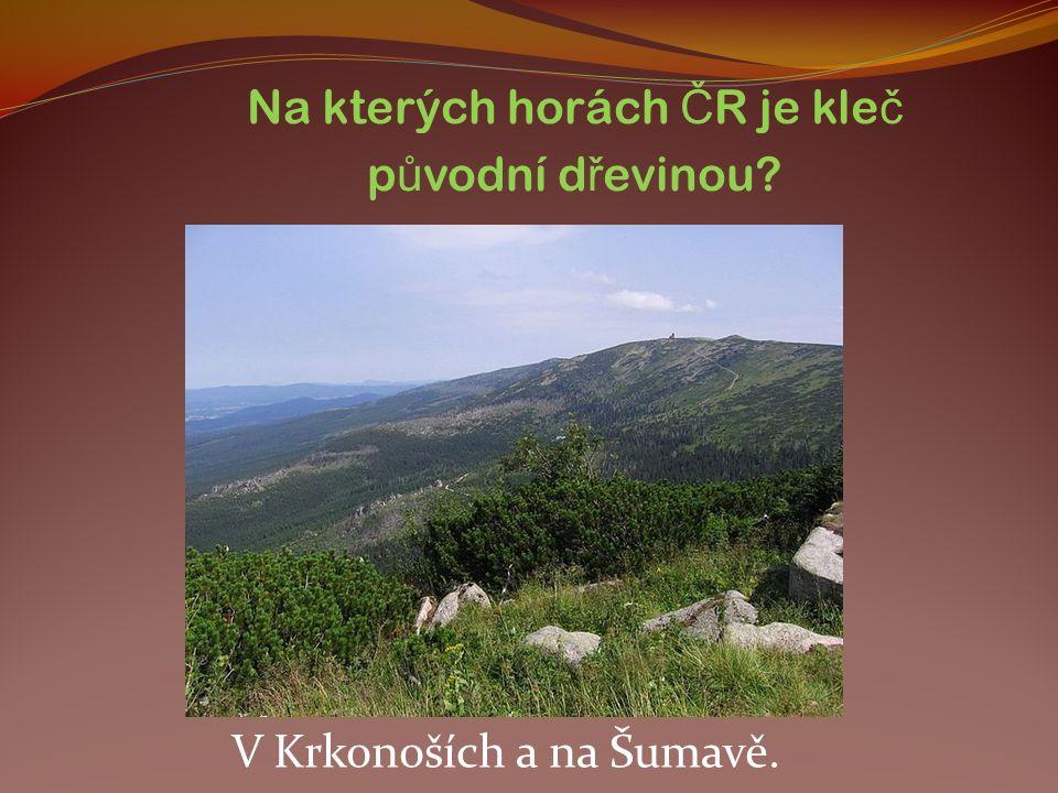 Na kterých horách Č R je kle č p ů vodní d ř evinou? V Krkonoších a na Šumavě.