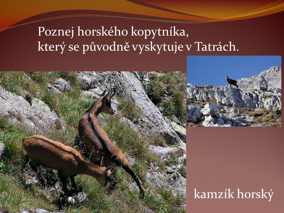 Poznej horského kopytníka, který se původně vyskytuje v Tatrách. kamzík horský
