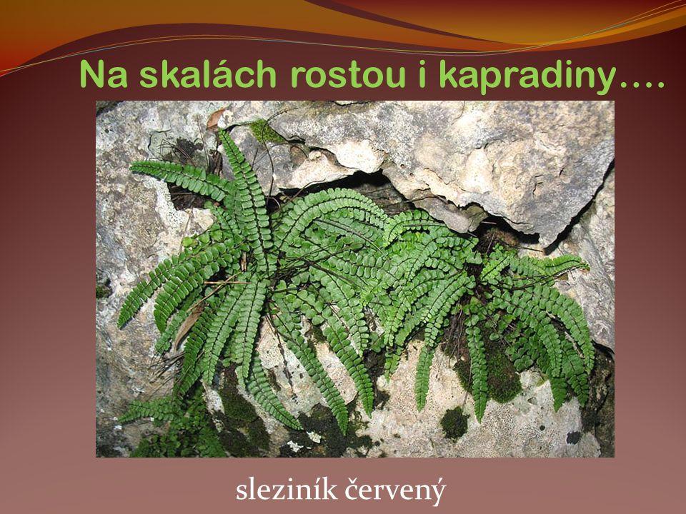 Na skalách rostou i kapradiny…. sleziník červený