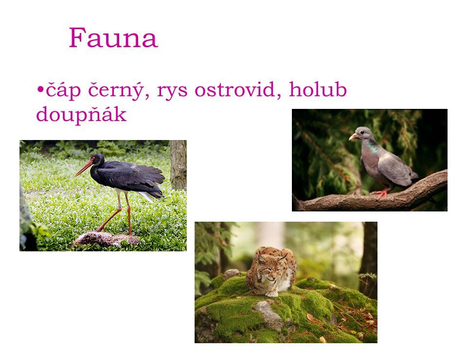 Fauna čáp černý, rys ostrovid, holub doupňák