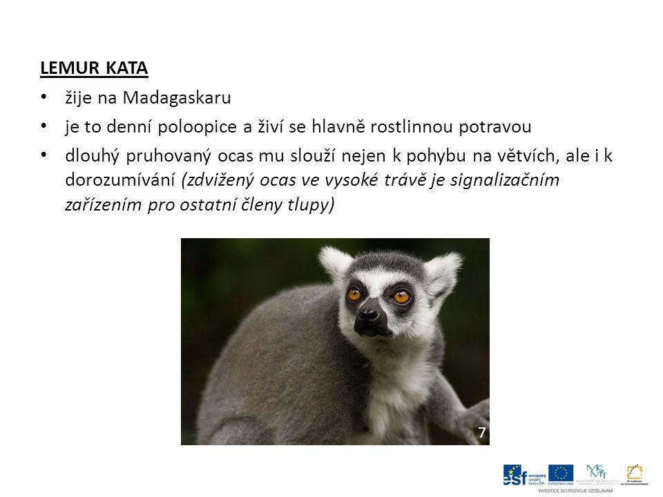 LEMUR KATA žije na Madagaskaru je to denní poloopice a živí se hlavně rostlinnou potravou dlouhý pruhovaný ocas mu slouží nejen k pohybu na větvích, ale i k dorozumívání (zdvižený ocas ve vysoké trávě je signalizačním zařízením pro ostatní členy tlupy) 7